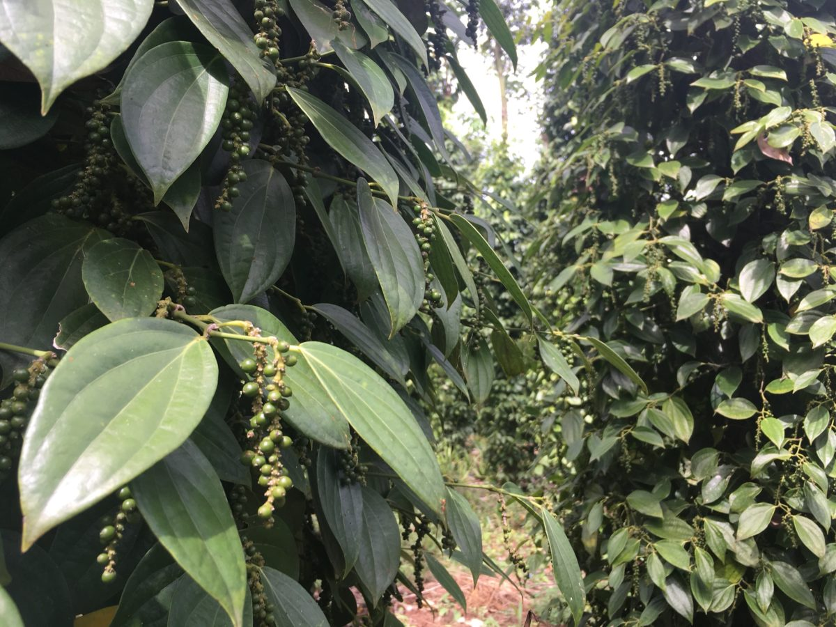 Vietnam reduce Pepper area to focus on quality